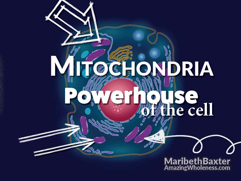 Mitochondria, Powerhouse of the cell